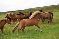 Icelandic Horses in North Iceland.