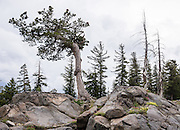 Bent pine tree. Off Highway 88 near Carson Pass, hike a varied loop through lush wildflower fields from Woods Lake Campground to Winnnemucca Lake then Round Top Lake, in Mokelumne Wilderness, Eldorado National Forest, Sierra Nevada, California, USA. The excellent loop trail is 5.3 miles with 1250 feet gain (or 6.4 miles with 2170 feet gain if adding the scramble up Round Top).