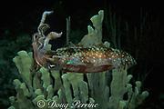 Atlantic oval squid,<br /> Sepioteuthis sepioidea, <br /> Bahamas ( Western Atlantic Ocean )