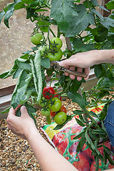 Removing some leaves from tomato plants to help fruit ripen and make it easier to pick