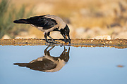 Hooded crow (Corvus cornix) near water The hooded crow is a widespread bird found throughout much of Europe and the Middle East. It is an omnivorous scavenger, eating aquatic animals, such as shellfish and anemones, as well as bird eggs, small mammals, and carrion. Photographed in Israel
