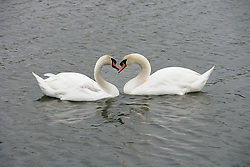 Dec. 13, 2012 - Two swans (Credit Image: © Image Source/ZUMAPRESS.com)