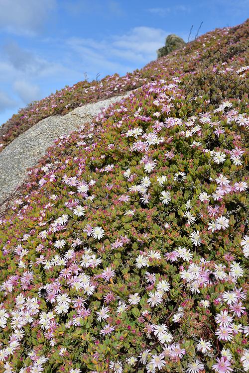 Pale Dewplant - Drosanthemum floribundum