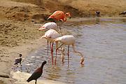 4 pink flamingos at a watering hole