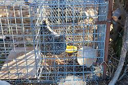 Chicken In Trap - Live Bait