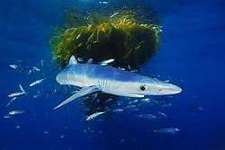 blue shark, Prionace glauca, juvenile, with school of jack mackerel, Trachurus symmetricus, under drifting kelp paddy, San Diego, California, East Pacific Ocean