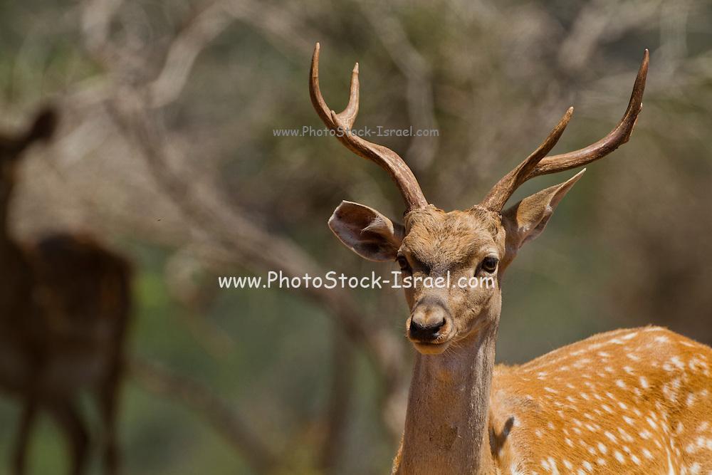 Male Mesopotamian Fallow deer (Dama mesopotamica) Photographed in Israel Carmel forest in July