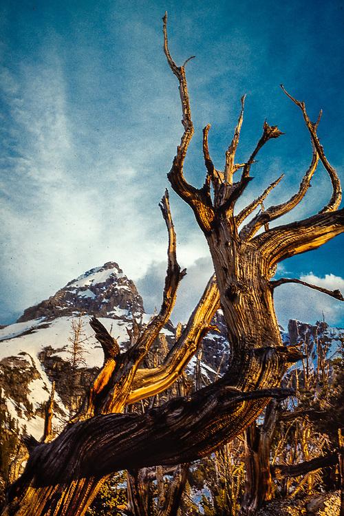 Grand Teton and weathered pine tree, morning light, July, Grand Teton National Park, Wyoming, USA