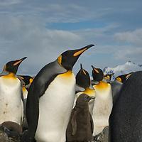 A King Penguin parent guards its chick amidst a huge rookery at Salisbury Plain, South Georgia, Antarctica.