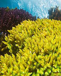 various hard corals, Acropora sp., Indo-Pacific Ocean (c)