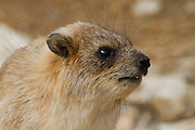 Rock Hyrax, (Procavia capensis syriaca) Photographed in Israel, Judean Desert