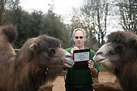 Bactrian Camels  at the ZSL London Zoo Annual Stocktake in London, England. Thursday 2nd January 2020