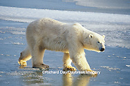 01874-01818 Polar Bear (Ursus maritimus)  walking on frozen pond   Churchill  MB