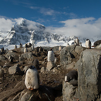 Gentoo Penguins crowd a rookery surrounding Port Lockroy Museum on tiny Goudier Island, Antarctica. Behind is Mount Luigi, highest of the Seven Sisters of Fief in the Fief Mountains on Wienke Island.