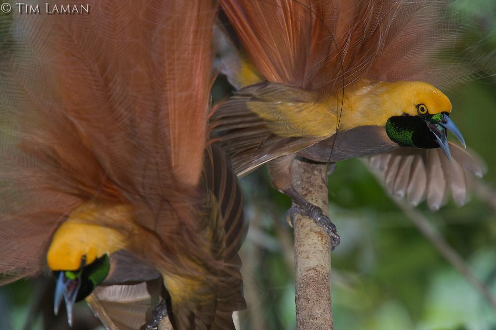 Goldie's Bird of Paradise.(Paradisaea decora) males displaying at lek...