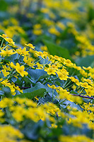 A patch of Cowslips ( marsh marigolds)