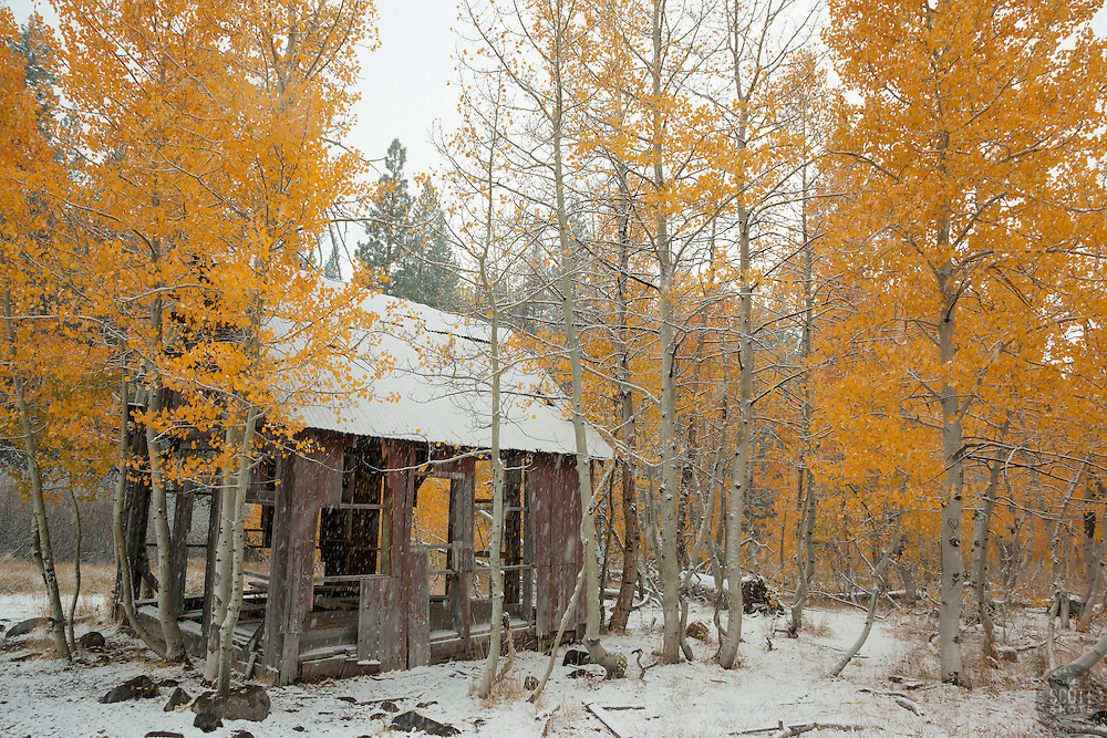 """""""Shack in the Aspens 4"""" - Photograph of yellow leaved aspens and an old shack near the summit of Hwy 267 in Tahoe. Shot in the fall while it was snowing."""