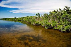 red mangroves, Rhizophora mangle, in Lake Worth, a preserved, pristine esturay, John D. MacArthur Beach State Park, North Palm Beach, Florida
