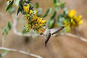Andean Hillstar (Oreotrochilus estella) female Hummingbird, feeding on yellow flowers, Los Cardones National Park, Argentina