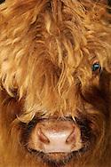 """Highland cattle or kyloe (Bos primigenius taurus), portrait, originate from Scotland and the Hebrides. A small, robust and long-living cattle breed with long wavy coats which are coloured reddish brown, mostly black in the past. Less common is a gray-brown, brindle and white coat. The cattles are right for free-range husbandry.Often their faces are covered with lang hairs, Biederbach, Baden-Wuerttemberg, Germany.This picture is part of the series """"Creature's Coiffure""""..Schottisches Hochlandrind (Highland Cattle oder auch Kyloes) (Bos primigenius taurus), Portrait, .Stammt aus Schottland und den Hebriden. Es ist eine kleinwuechsige, robuste und langlebige Rinderrasse. Sie hat ein dichtes und langes Haarkleid. Heute ist das typische Langhaarfell rot-braun; frueher gab es ueberwiegend schwarze Tiere. Weniger haeufig ist ein grau-braunes, gestromtes und weisses Fell. Sie eignen sich gut für die ganzjaehrige Freilandhaltung. Oft sind ihre Gesichter von langen Haarstraehnen zugewachsen, so dass sie schon eine Sichtbehinderung darstellen. Biederbach, Baden-Wuerttemberg, Deutschland.Dieses Bild ist Teil der Serie ,,Die Frisur der Kreatur""""."""