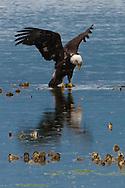 An immature Bald Eagle (Haliaeetus leucocephalus) (Halietus leucocephalus) lands on an oyster bed along Hood Canal in Puget Sound, Washington state, USA
