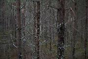 Dense labyrinth of pine (Pinus sylvestris) branches, Kemeri National Park (Ķemeru Nacionālais parks), Latvia Ⓒ Davis Ulands | davisulands.com