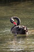 Black Swan (Cygnus atratus)  Little Missenden,Buckinghamshire, UK