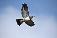 New Zealand Pigeon or Kereru - Hemiphaga novaeseelandiae