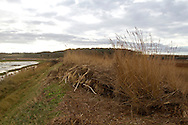 After effects of  6 12 2013  tidal surge showing East bank and phragmites rhizomes at  Cley next the sea,  Norfolk UK