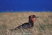 African ground hornbill, Bucorvus leadbeateri, eating snake, Mkambati, the Wild Coast, Transkei, South Africa