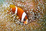 Barrier Reef Anemonefish (Amphiprion akindynos) in Mertens Carpet Sea Anemone (Stichodactyla mertensii) - Agincourt Reef, Great Barrier Reef, Queensland, Australia. <br />