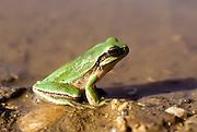 European tree frog (Hyla arborea) near water Photographed in Israel in December