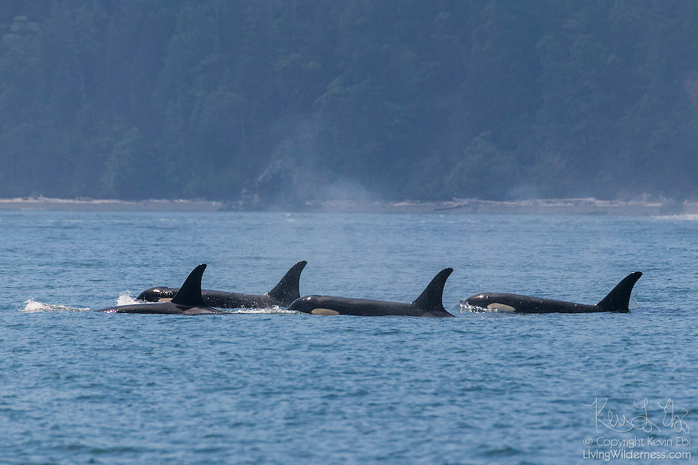 A family of orcas (Orcinus orca), otherwise known as killer whales, swims in the water off the San Juan Islands in Washington state.