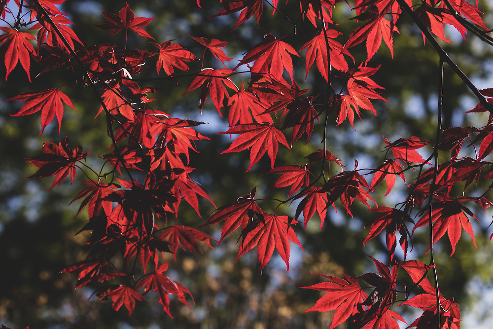 Japanese maple leaves glowing in afternoon sunlight.