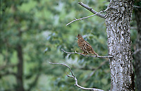 Spruce Grouse (Falcipennis canadensis), Muskwa-Kechika, British Columbia, Canada   Photo: Peter Llewellyn