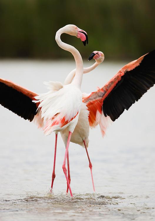 Greater Flamingos (Phoenicopterus roseus) fighting, Pont du Gau, Camargue, France