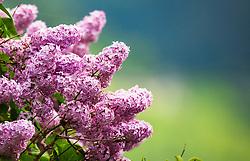 THEMENBILD - ein blühender Fliederbusch, aufgenommen am 10. Mai 2018, Zell am See, Österreich // a blooming lilac bush on 2018/05/10, Zell am See, Austria. EXPA Pictures © 2018, PhotoCredit: EXPA/ Stefanie Oberhauser