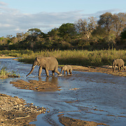 Mother and young african elephant crossing the Sand River in MalaMala Game Reserve. South Africa.