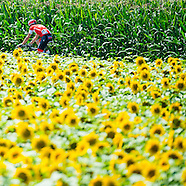 Stage 11 - Sunflowers/Stingers