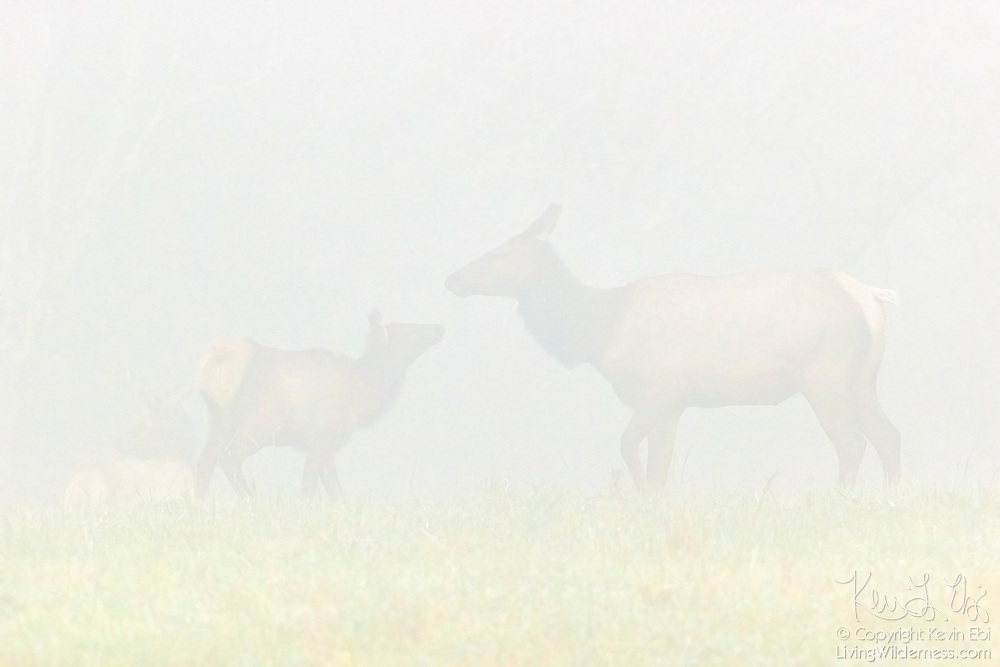 "A young elk (Cervus canadensis) looks at its mother through thick fog in a field in Snohomish County, Washington. A bull elk is faintly visible in the background on the left side of the image. Elk, which are related to deer, are also known as wapiti, a Native American word that means ""light-colored deer."""