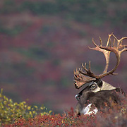 Barren Ground Caribou, (Rangifer arcticus) Bull resting in fall colored tundra. Alaska.