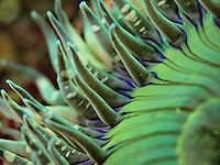 Sunburst anemone (Anthopleura sola)