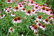 Echinacea flowers also known as cone flower in bloom at Yeo Valley Organic Gardens in Somerset, United Kingdom on 26th July 2017