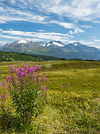 Common Fireweed (Epilobium augustifolium) and the Kenai Mountains in Southcentral Alaska. Summer. Afternoon.