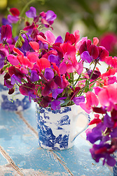 Sweet peas in patterned mugs. Harlequin collection. Lathyrus odoratus 'Matucana', 'Lord Nelson' and 'Prince Edward of York'