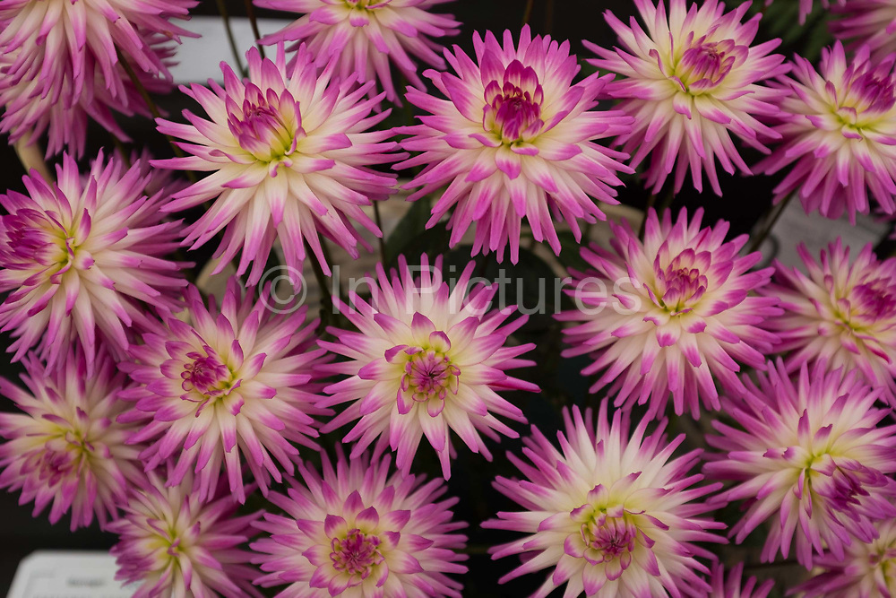 Pink and white dahlias on show at the annual Harrogate Autumn flower show on 16th September 2016 in North Yorkshire, United Kingdom.