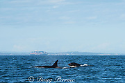 southern resident orca, or killer whales, Orcinus orca, swim past Victoria Harbor, off southern Vancouver Island, British Columbia, Strait of Juan de Fuca, Canada, with a container cargo ship in the background; shipping poses a significant threat to most whale populations around the world