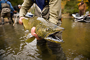 A fly fisherman holds a Chinook Salmon (King Salmon) before releasing it during the fall spawning run.  Michigan Pere Marquette River.  Oncorhynchus tshawytscha