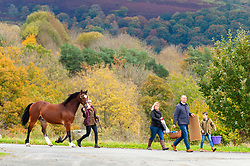 © Licensed to London News Pictures. 01/11/2019. Llanelwedd, Powys, Wales, UK. Cobs arrive and get exercised and groomed before the auction which starts at 13.00hrs on the first day of the 56th Autumn Cob sale. The Autumn Cob Sale is the largest sale in the World of registered Welsh Cobs Section D, Welsh Ponies of Cob Type Section C and their Part Breds. The sale, held by Brightwells auctioneers, takes place over three days at The Royal Welsh Showground in Builth Wells, Powys, UK, attracting an audience of thousands of Welsh Cob enthusiasts worldwide. Photo credit: Graham M. Lawrence/LNP