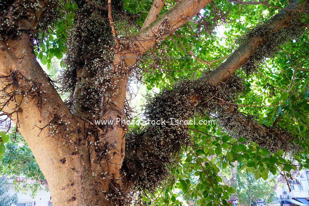 Ficus sycomorus, called the sycamore fig or the fig-mulberry (because the leaves resemble those of the mulberry), sycamore, or sycomore, is a fig species that has been cultivated since ancient times.[